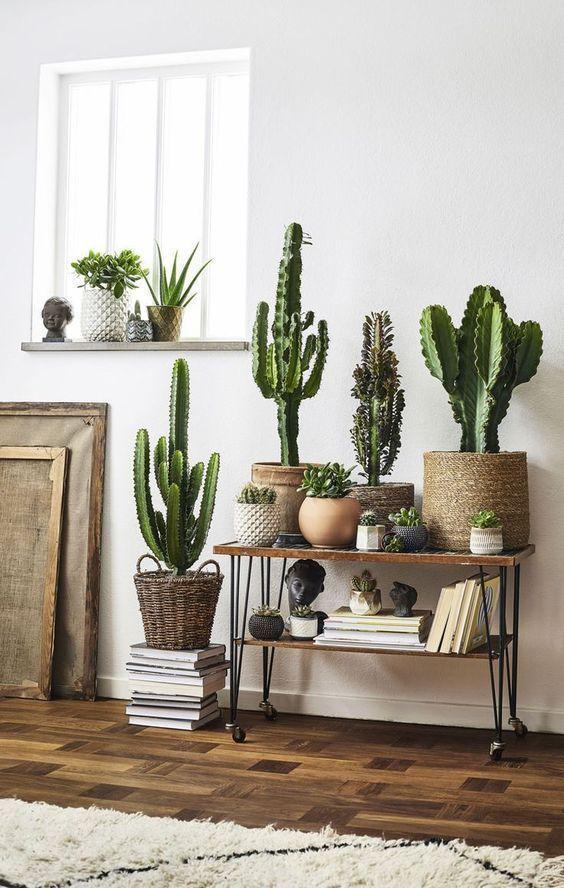 cactus plants for room decor