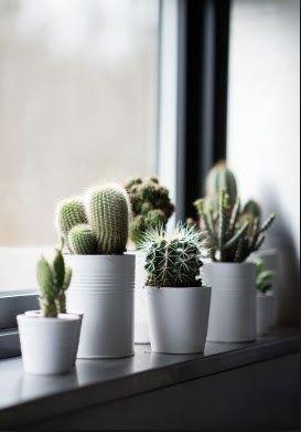 fresh cactus plants